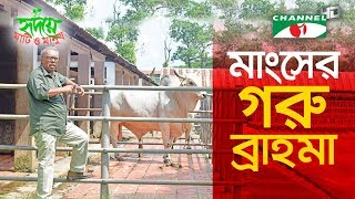 The American Brahman in Bangladesh