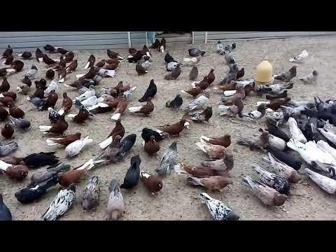 Николаевские голуби!! в хорошие руки