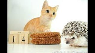 【ハリネズミ】猫が気持ち良さそうにハリネズミに顔をすりつける姿がかわいい【猫】~cat and hedgehog~