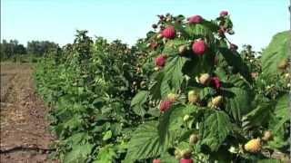 Ремонтантная малина(Ремонтантные сорта малины - растение уникальное. Малина на этом видео снята в начале октября. Урожай на..., 2012-10-05T22:31:43.000Z)