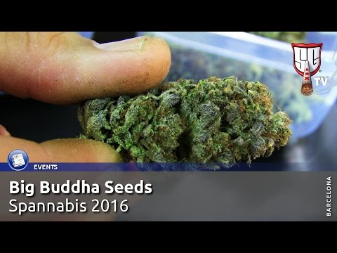 Big Buddha Seeds Strain Showcase at Spannabis 2016 -  Smokers Guide TV Spain