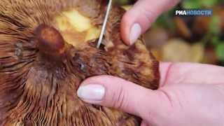 «Свежая еда» - Как выбрать съедобный гриб в лесу