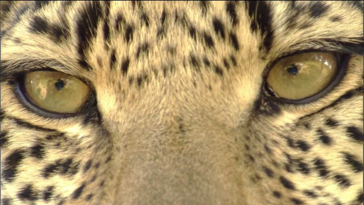 leopard eye close up - photo #7