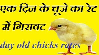 चूजा के रेट में आया गिरावट | lower chicks rate updates today in chicks hechries