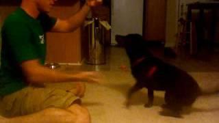 Raleigh - Lab/beagle Mix (leagle)