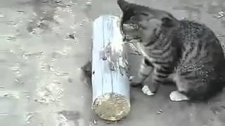Прикольные кошки   Кошка играет с настоящей мышкой! Забавно смотреть!!