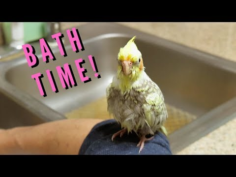 Pearl The Cockatiel's First Bath | Budgie And Cockatiel Take A Bath