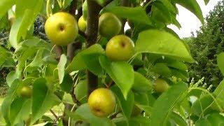 Large Korean Asian Pear Tree