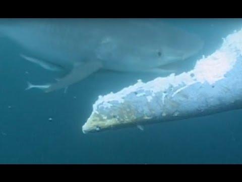 Un requin attaque et mange une baleine bleue vivante