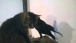 "My pet rook trying to ""protect"" my cat"