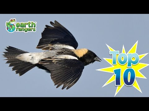 Top Ten Things You Didn't Know about Bobolinks