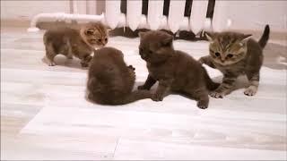 Котонашествие )) Шоколадные плюшечки с кукольными мордашками! Британские котята
