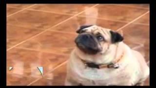 Repeat youtube video หมาพูด ครับผม ชัดมาก
