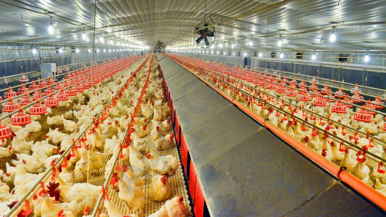 Modern рoultry Farming Products Of Modern Poultry Equipment Is Fully Automated Production Of Chicken Youtube