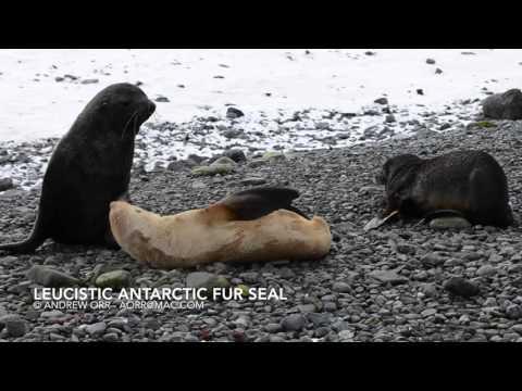 Rare Leucistic Antarctic fur seal