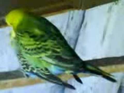 budgies mating intensive youtube