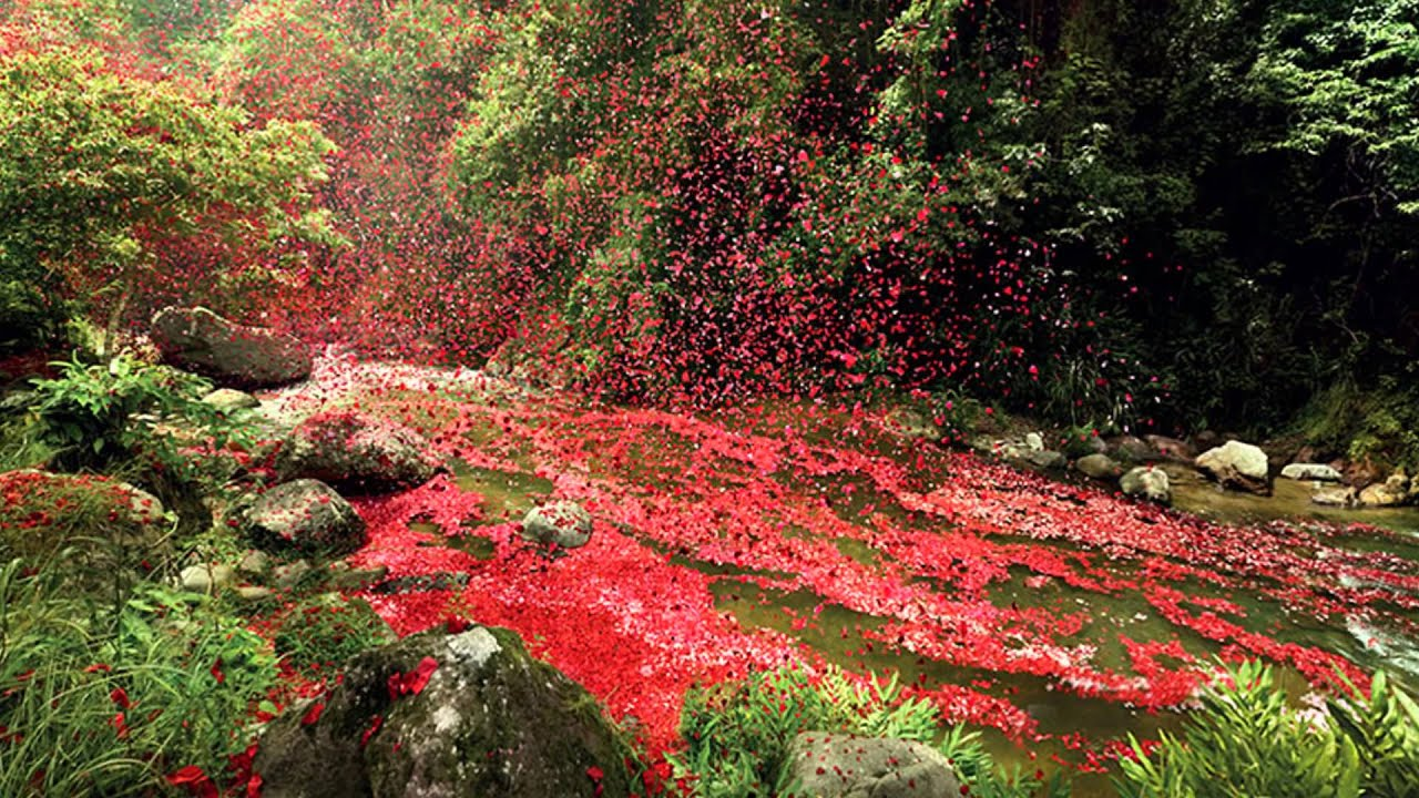 8 Million Flower Petals Rain Down On A Village In Costa Rica HD 2015
