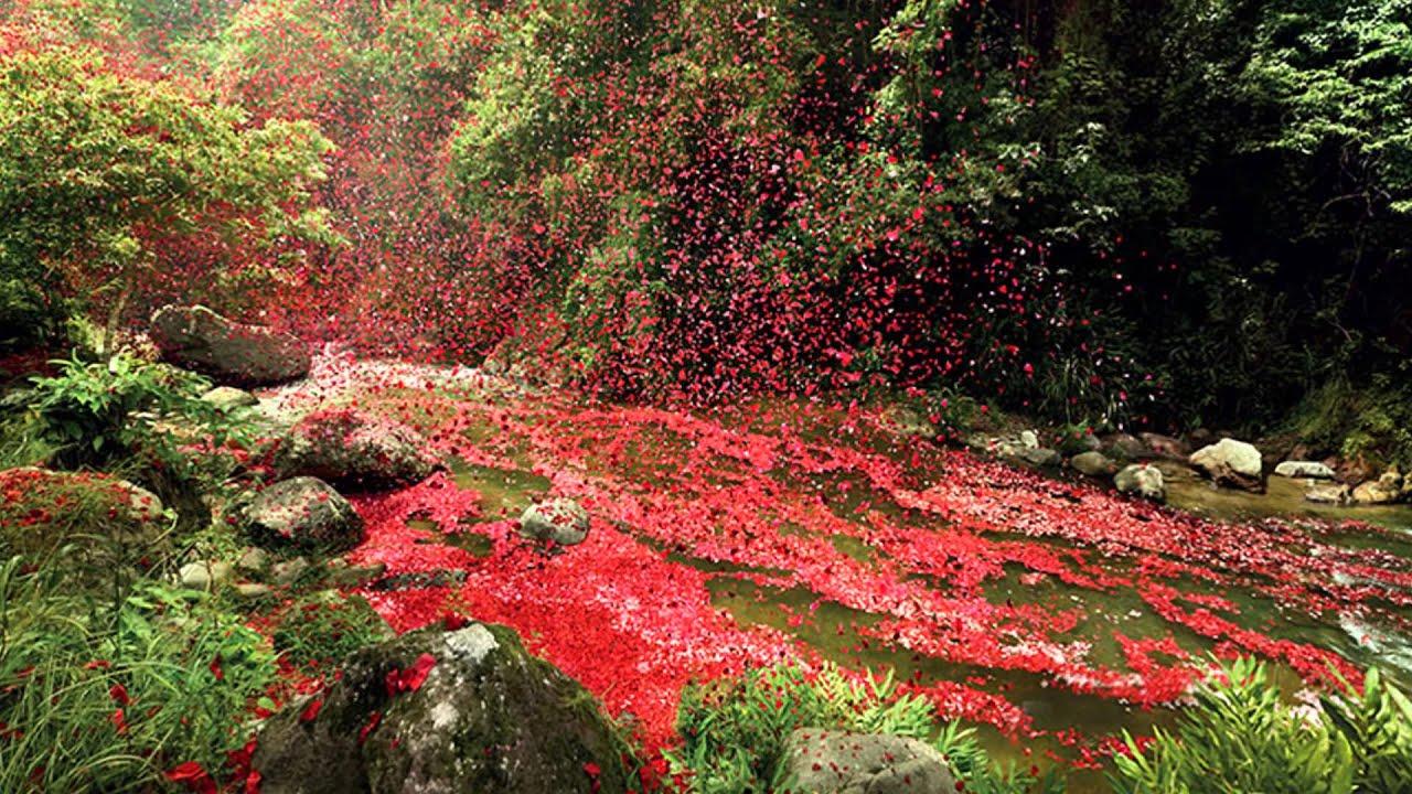 Falling Down Flowers Wallpaper 8 Million Flower Petals Rain Down On A Village In Costa