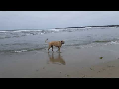 Running Irish Wolfhounds: Declan Excited to See his Girlfriend Pup, Daisy the Irish Wolfhound