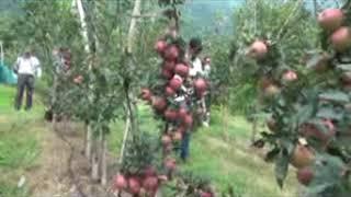 वानिकी विवि नौणी मे उच्च घनत्व सेब प्लांटेशन पर शौध कार्य किया जा रहा है