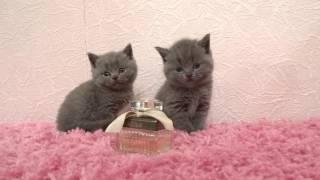 1 месяц Британские котята