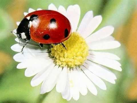 Lady Bug Symbol Of Good Fortune Youtube