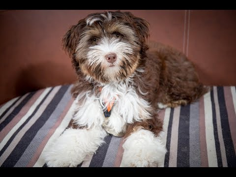 Tashi - Tibetan Terrier Puppy - 3 Weeks Residential Dog Training
