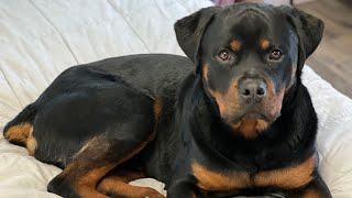 All About Living with Rottweilers! What to expect and get to know the breed! Rottweiler 101 Tips