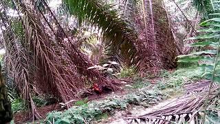 Video Pikat ayam hutan anak muda download MP3, 3GP, MP4, WEBM, AVI, FLV Desember 2017