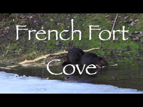 Beavers at French Fort Cove