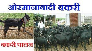Goat farming : Osmanabadi Goat | : ओस्मानाबादी बकरी की खासियत और उसे पालने के फायदे