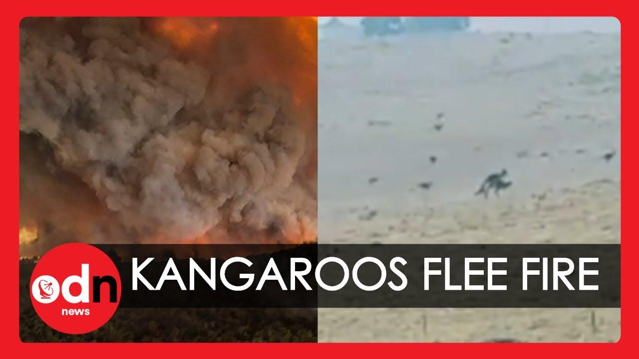 Video Shows Troop of Kangaroos Fleeing Australia Bushfires