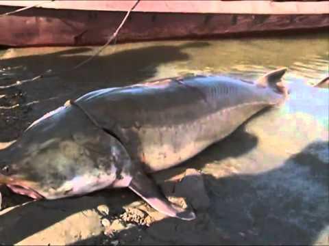 Giant sturgeon returned to NE China river