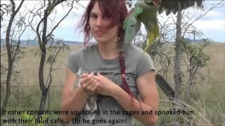 Alexandrine parrot outdoor freeflight