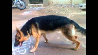 German Shepherd Growingup India