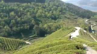 Boseong Green Tea Plantation South Korea