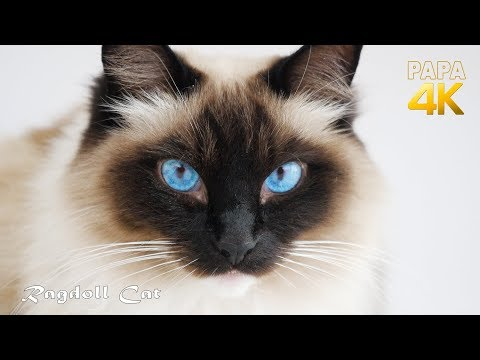 The Ragdoll Cat - The best breed of cats