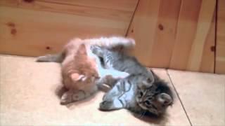 Быт Сибирских котят