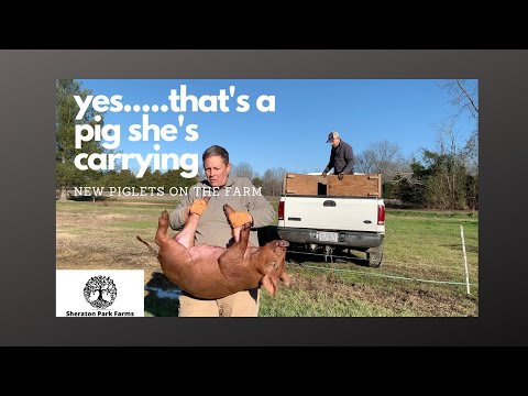 Getting Started With Pastured Pigs - Training New Piglets On Electric Fence