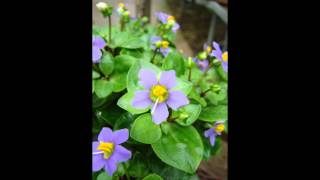 видео Экзакум: уход в домашних условиях, цветок из семян
