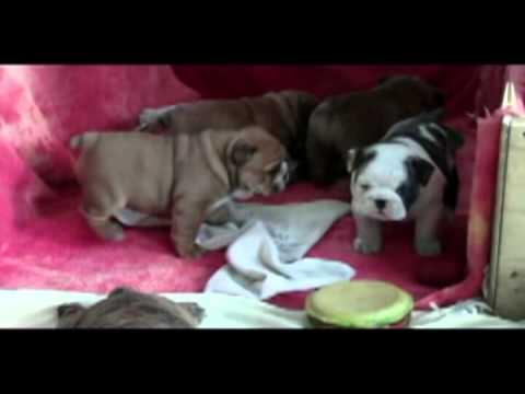 English Bulldog Puppies Chiot Bouledogue Anglais For Sale à