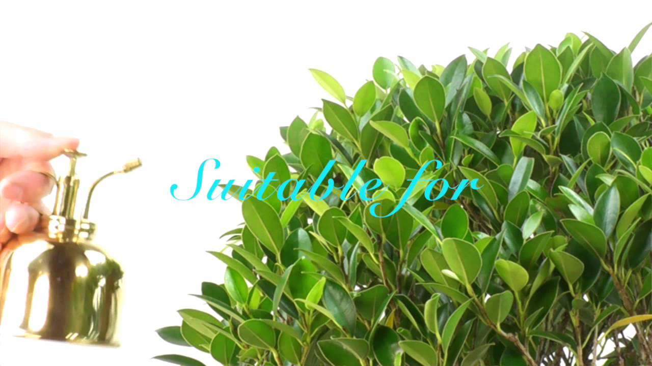 Specimen Large Easy Care Ficus Indoor Bonsai Tree With