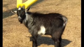Domestic Goat (Animal)