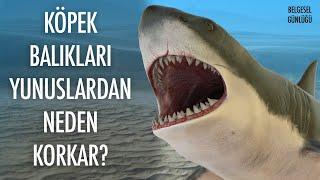 Köpek Balıkları Yunuslardan Neden Korkar?