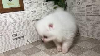 ペットショップ 犬の家 加古川店 「ポメラニアン」「95308」 thumbnail