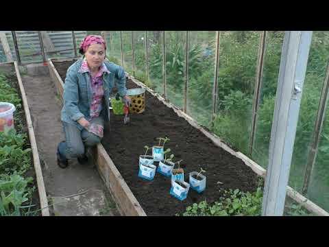 Дыни: как посадить правильно   правильная   высаживаем   средней   посадка   сажаем   полосы   лучшие   арбузы   сорта   дынь