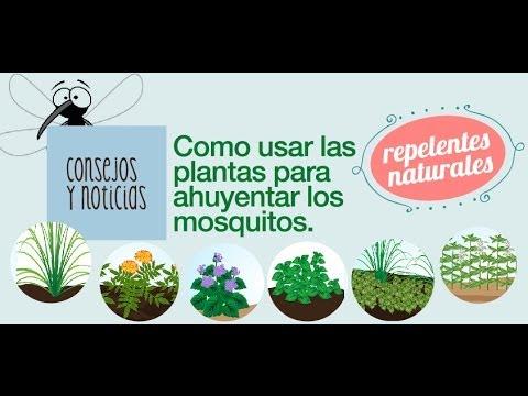 Los mosquitos repelentes naturales y remedios caseros - Como ahuyentar los mosquitos ...