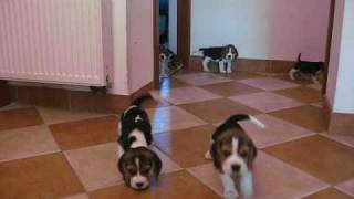 Beagle Puppies 7 Weeks Old