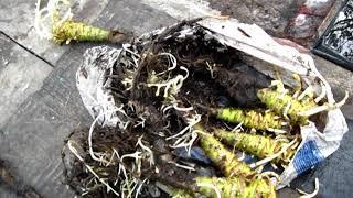 Посадка кочерыжек капусты на семена