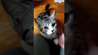 【ショート】夜中に甘えてくる猫 Spoiled cat (Munchkin) #shorts